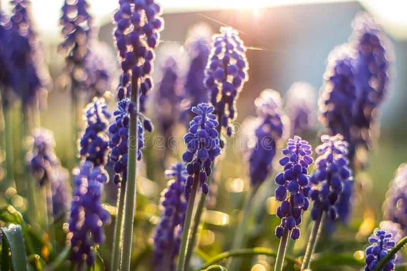 Красивый фиолетовый полевой цветок в солнце захода солнца стоковая фотография