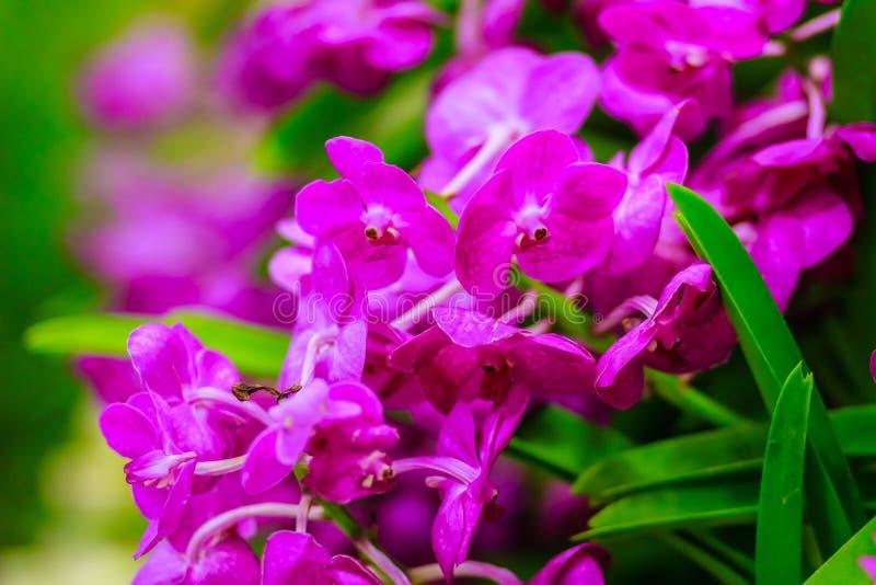 Красивый фиолетовый цветок орхидеи, гибрид Vanda цветет Фиолетовый Van стоковое фото rf