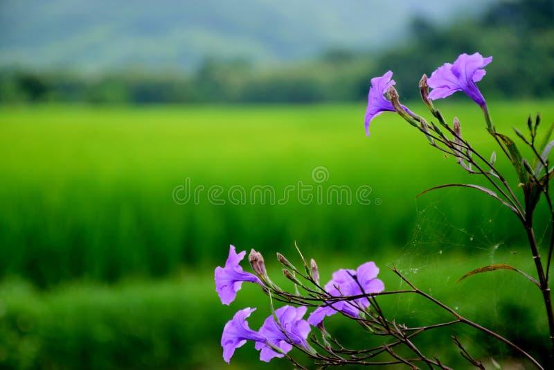 Красивый фиолетовый цветок с полями риса стоковое изображение
