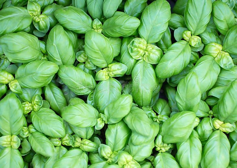 Красивый фон зеленых листьев свежего базилика стоковые фотографии rf