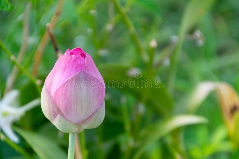 Красивый цвести лотос летом стоковые фотографии rf