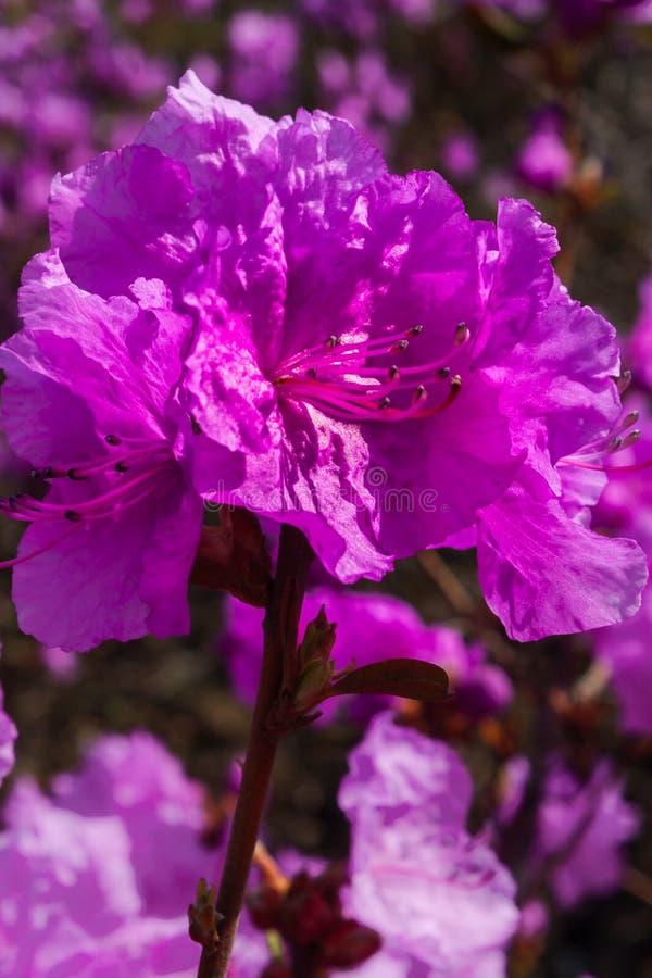 Красивый цветок азалии в саде стоковая фотография rf