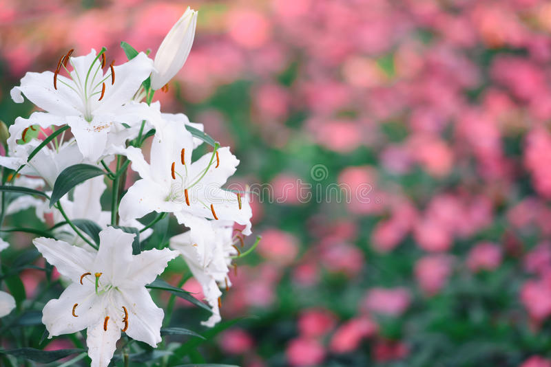 Красивый цветок белой лилии в bokeh пинка белизны сада ot стоковое фото