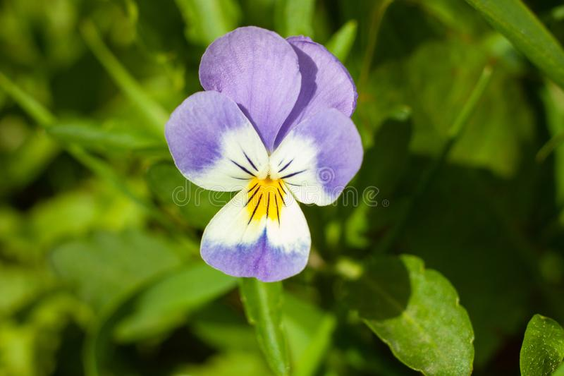 Красивый цветок Виола tricolor, или Pansy стоковое изображение