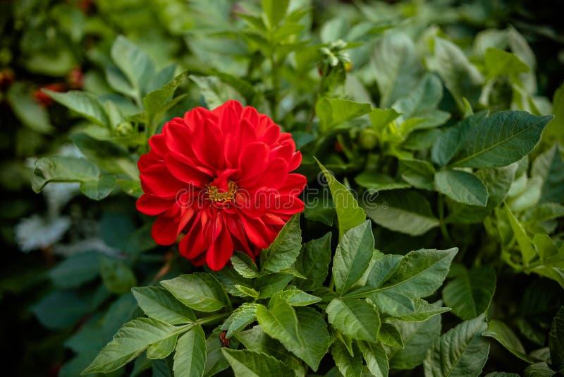 Красивый цветок в саде, красный цвет георгина георгинов pomponous красный цветок в саде в осени свет  стоковое изображение rf