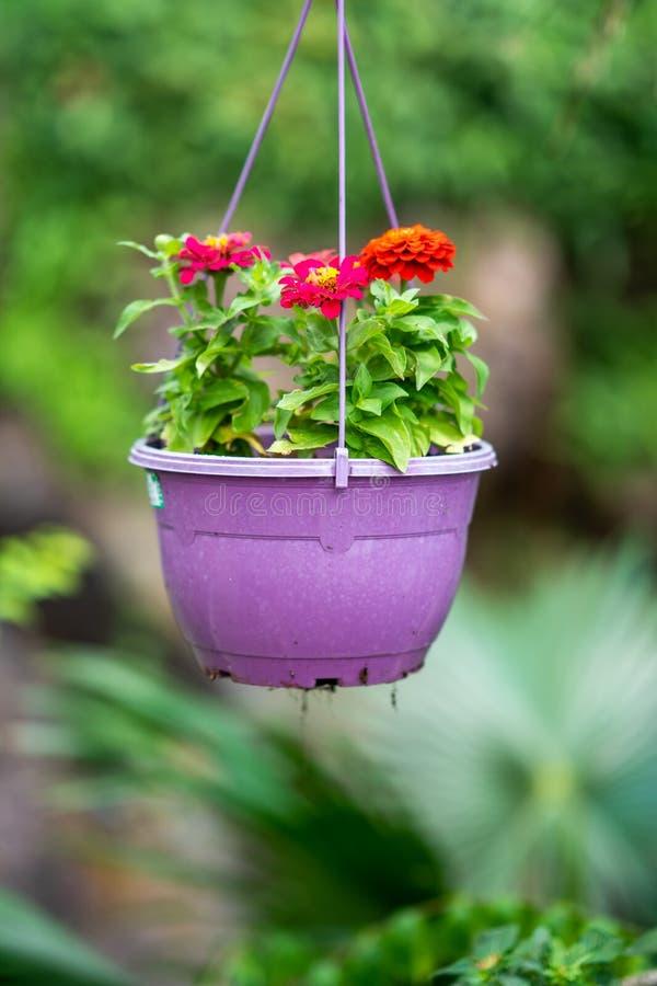 Красивый цветок в цветочном горшке дальше на саде стоковое фото