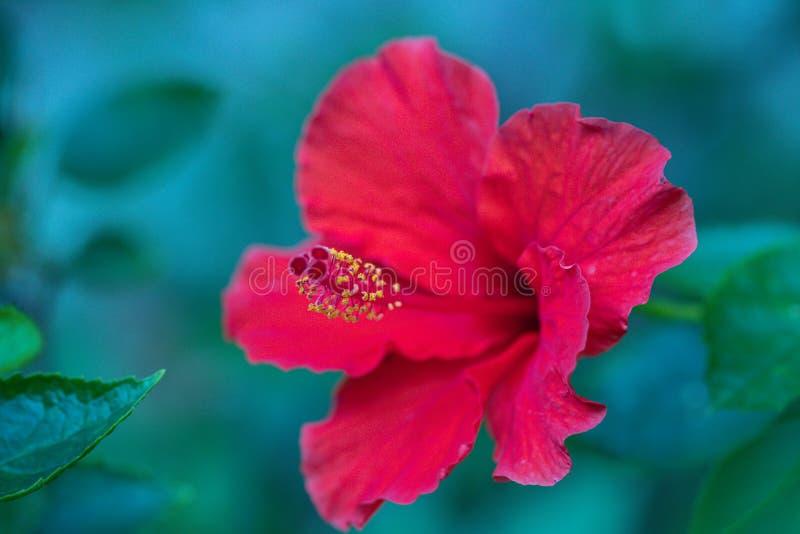 Красивый цветок гибискуса красного цвета в саде Цветок Роза-Sinensis гибискуса известный как китайский гибискус, Китай поднял стоковое фото