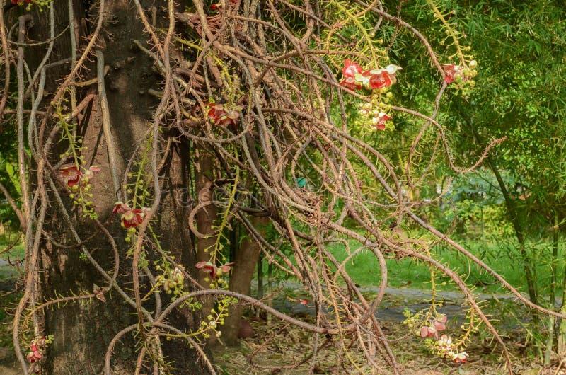 Красивый цветок дерева пушечного ядра стоковое изображение