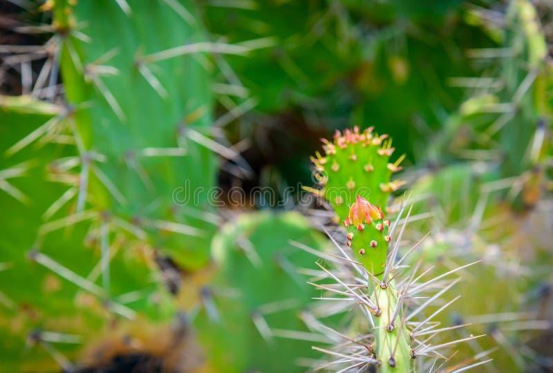 Красивый цветок кактуса стоковое фото rf