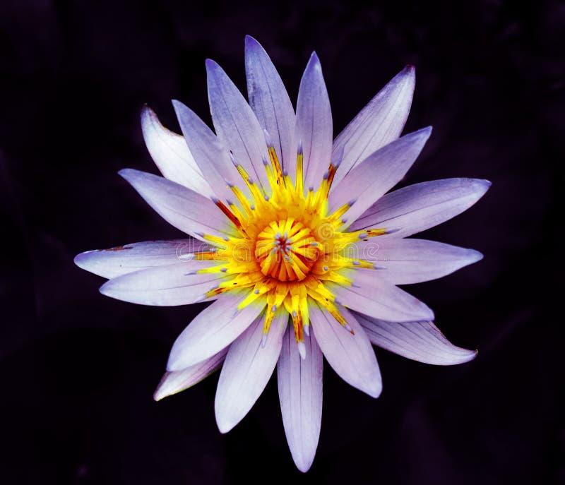 Красивый цветок лилии воды стоковая фотография rf