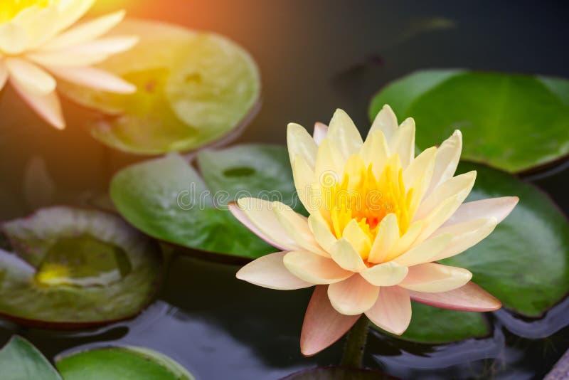 Красивый цветок лотоса плавая на воду стоковая фотография rf