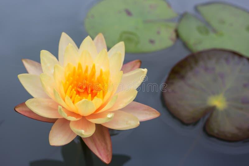 Красивый цветок лотоса плавая на воду стоковые фотографии rf