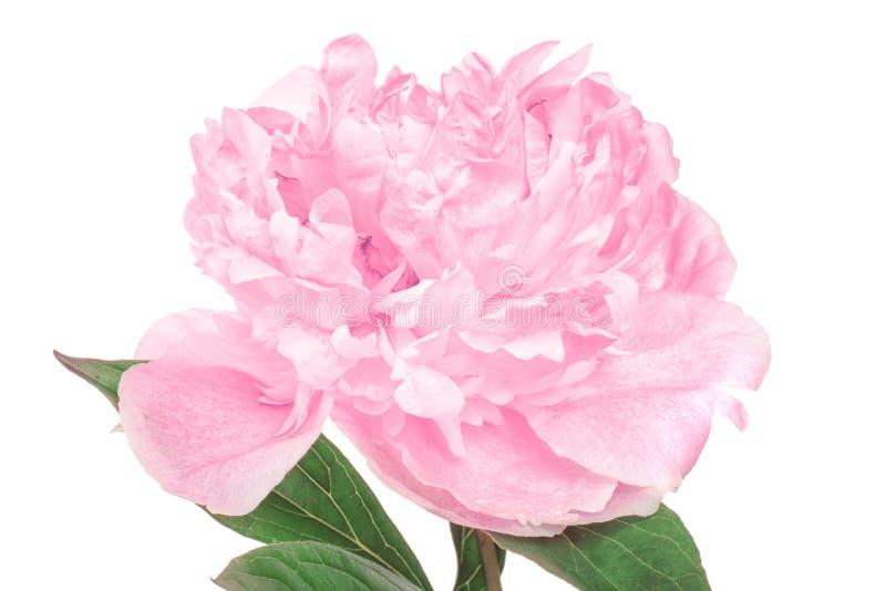 Красивый цветок пиона на белой предпосылке, стоковое изображение