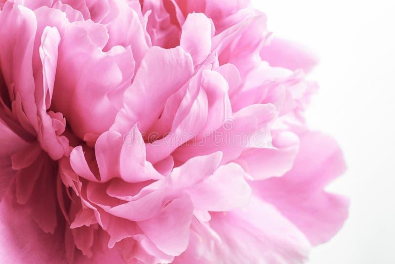 Красивый цветок пиона на белой предпосылке стоковые фото
