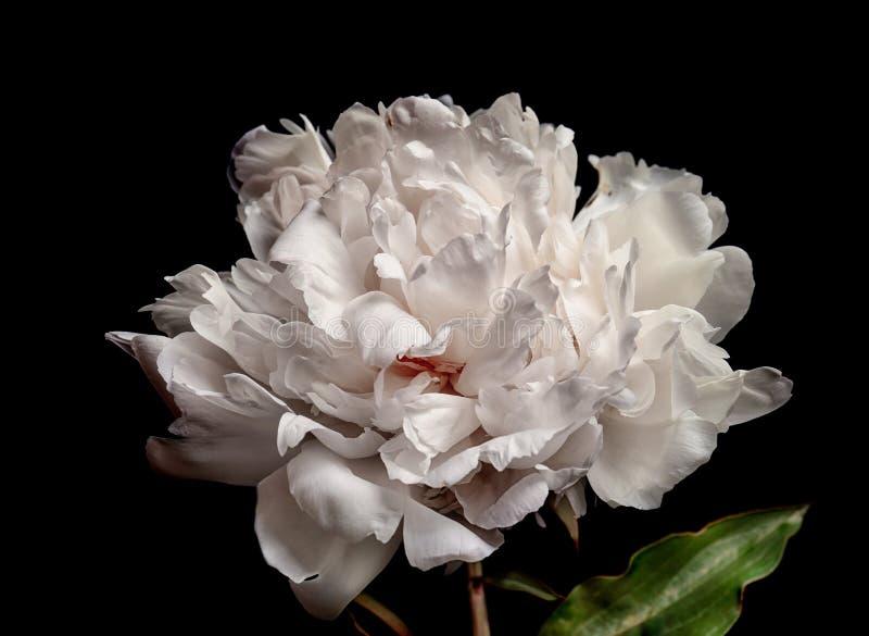 Красивый цветок пиона на темной предпосылке, стоковая фотография rf