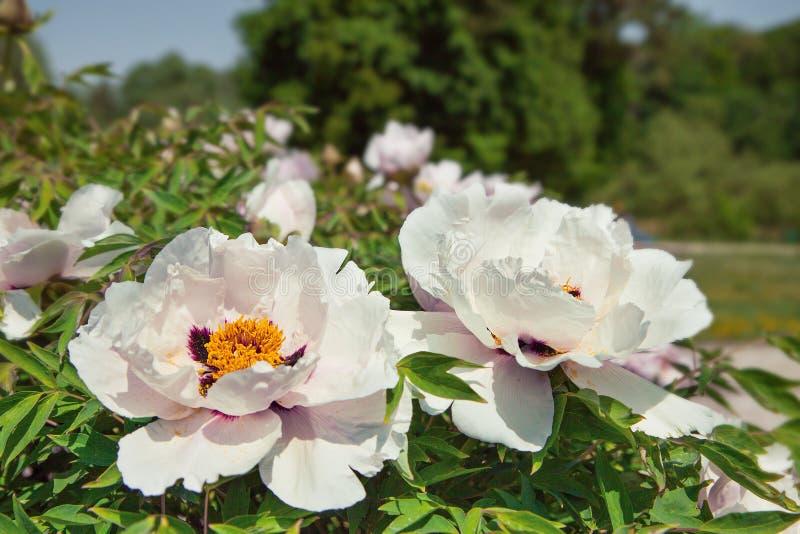 Красивый цветок похожего на дерев пиона в саде лета Малый жук на цветке стоковые изображения rf