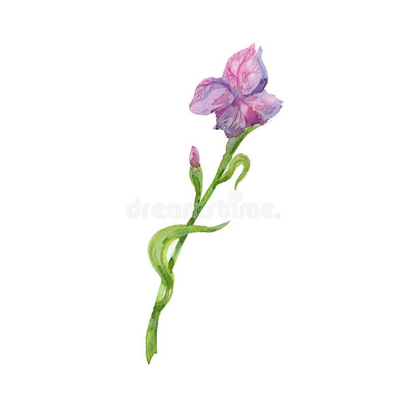 Красивый цветок радужки пинка акварели Рука иллюстрации акварели флористическая покрасила изолированный на белизне стоковые изображения rf