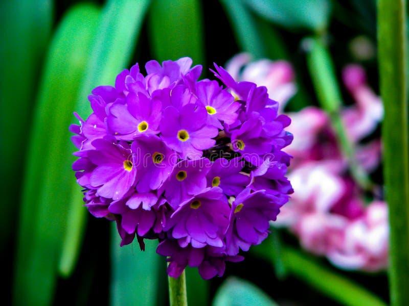 Красивый цветок скрипки в шарике в солнечном дне стоковые фото