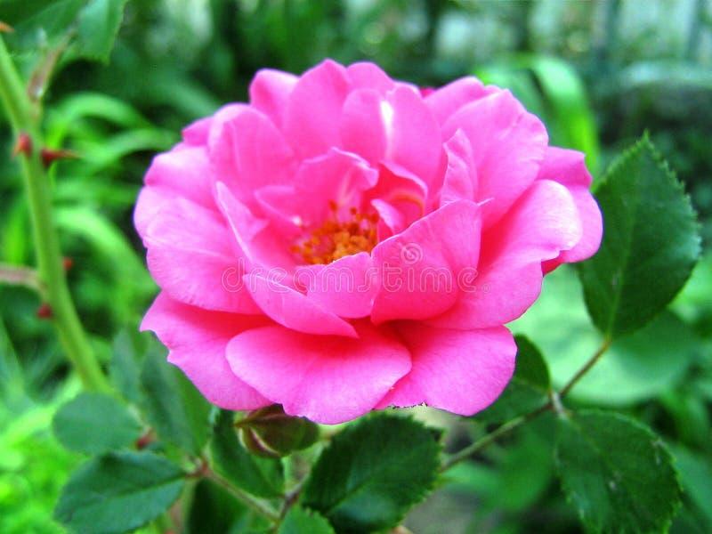 красивый цветок цветкового растения поднял с розовыми лепестками и листьями зеленого цвета стоковое изображение