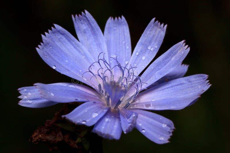 Красивый цветок цикория растет на зеленом луге После дождя лета стоковые изображения rf