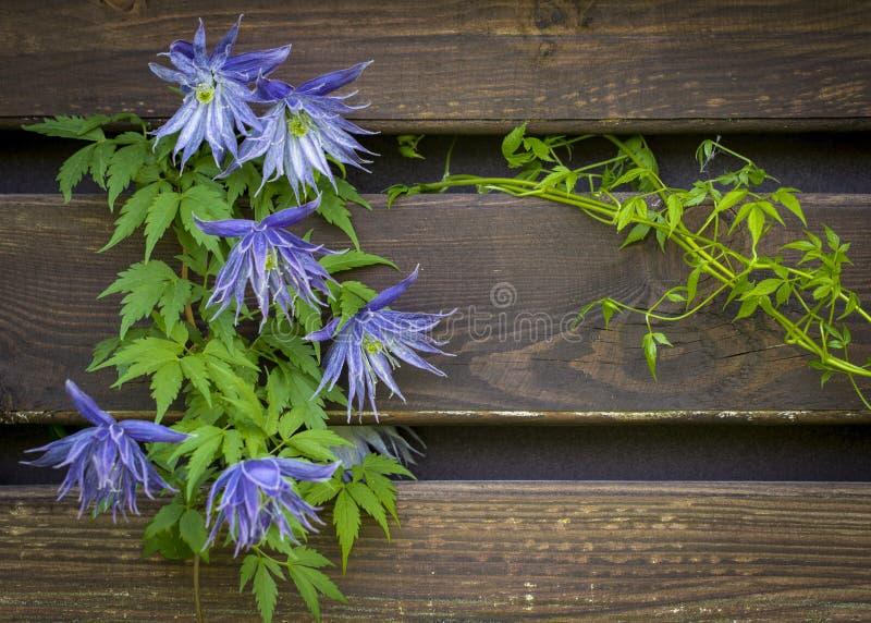 Красивый цветок clematis сирени цветя голубой clematis в саде стоковое фото