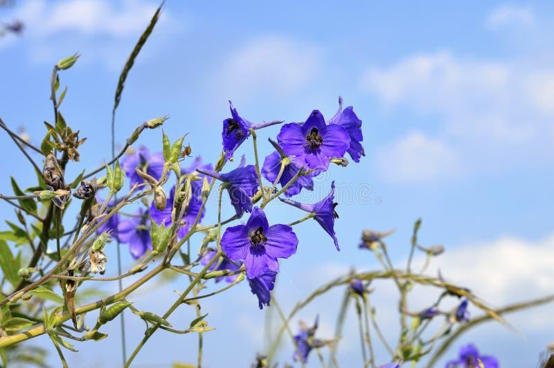 Красивый цветок DelphÃnium против неба стоковые фотографии rf