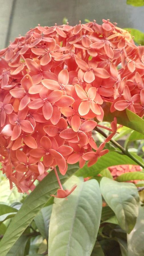 Красивый цветок Exora стоковое изображение