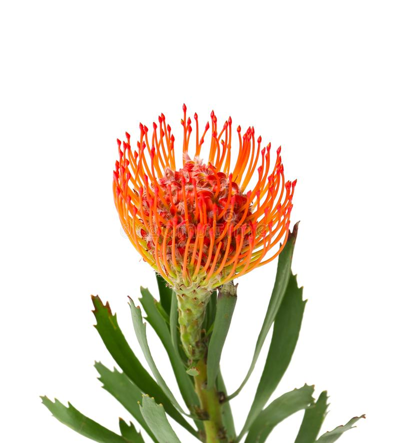 Красивый цветок protea на белой предпосылке стоковые изображения rf