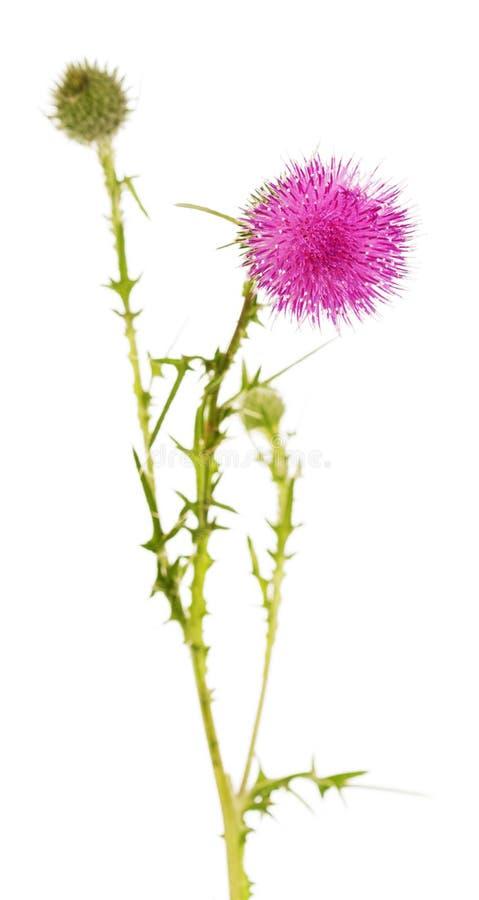 Красивый цветок thistle и неоткрытые бутоны изолированные на whited стоковые изображения