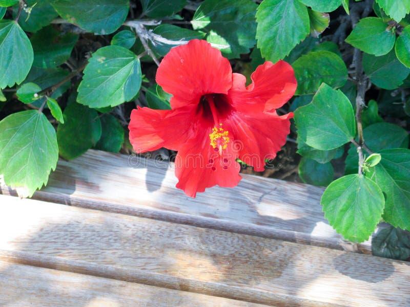 Красивый цветя гибискус стоковая фотография