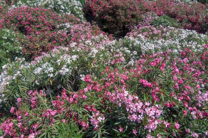Красивый цветя кустарник стоковые изображения rf