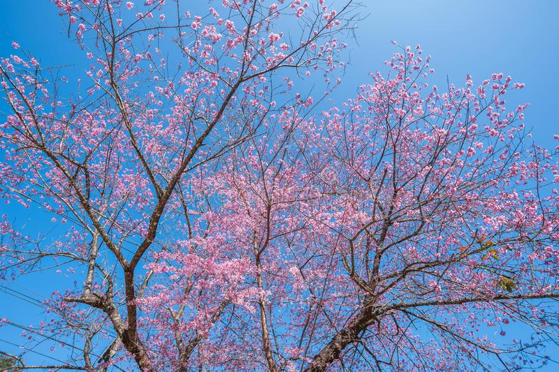 Красивый цвет вишневого цвета на фоне голубого неба стоковые фото