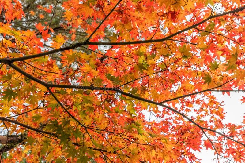 Download Красивый цвет кленовых листов в осени Стоковое Фото - изображение насчитывающей yellow, сезонно: 81815162