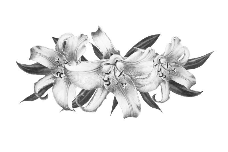 Красивый черно-белый состав лилии E Флористическая печать Чертеж отметки стоковое изображение