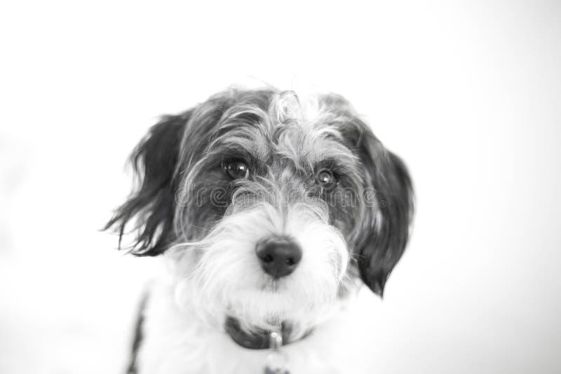 Красивый черно-белый портрет креста пуделя стоковое фото