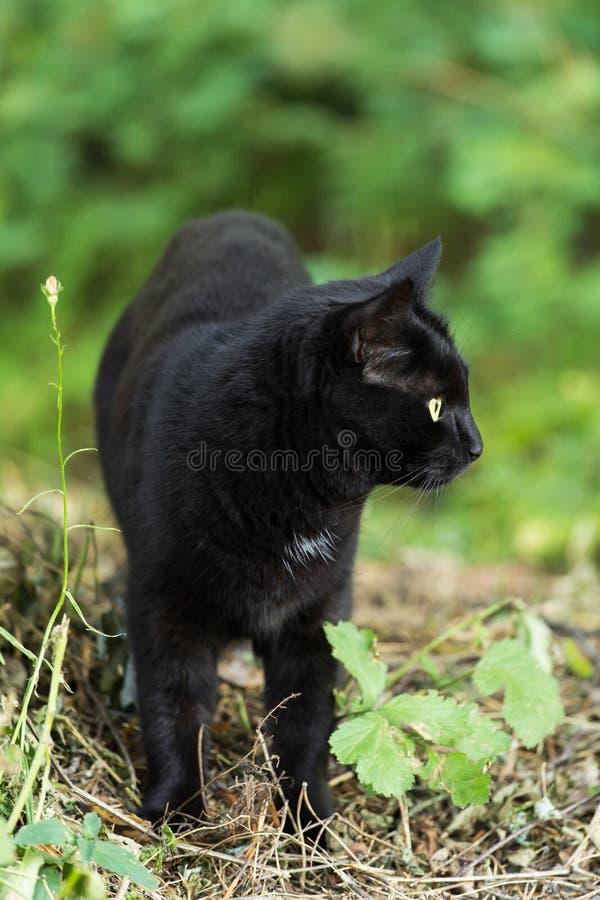 Красивый черный кот bombay с желтыми глазами в природе, outdoors стоковые фотографии rf