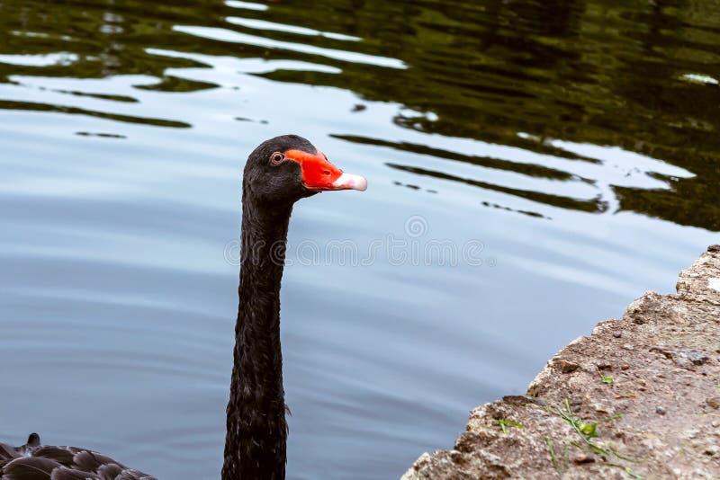 Красивый черный лебедь плавает в пруде в парке города стоковое изображение rf
