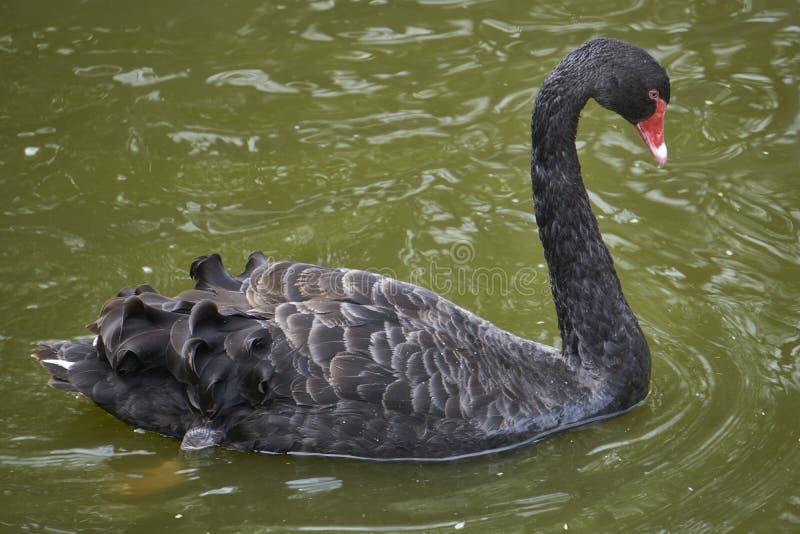 Красивый черный лебедь с красным плаванием клюва стоковое изображение rf