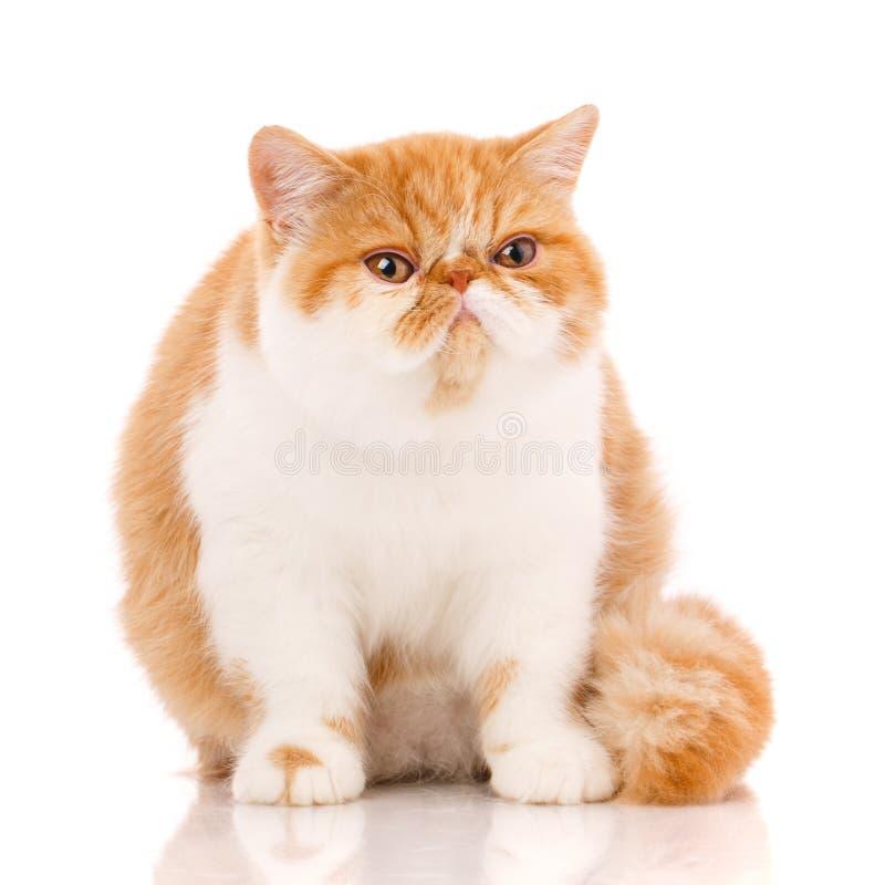 Красивый, чистоплеменный кот Котенок - портрет экзотического кота стоковая фотография rf
