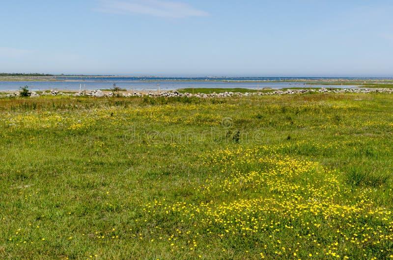 Красивый широкий открытый злаковик с желтыми цветками побережьем Балтийского моря стоковая фотография
