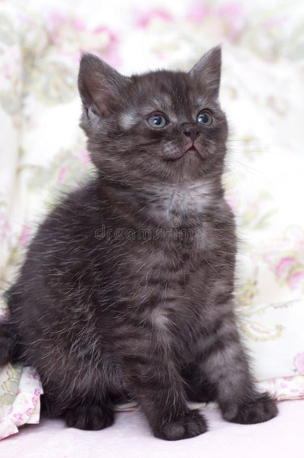 Красивый шотландский котенок стоковая фотография