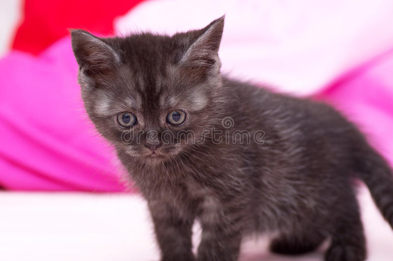 Красивый шотландский котенок стоковые изображения