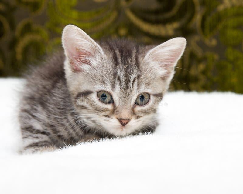Красивый шотландский молодой кот стоковое фото
