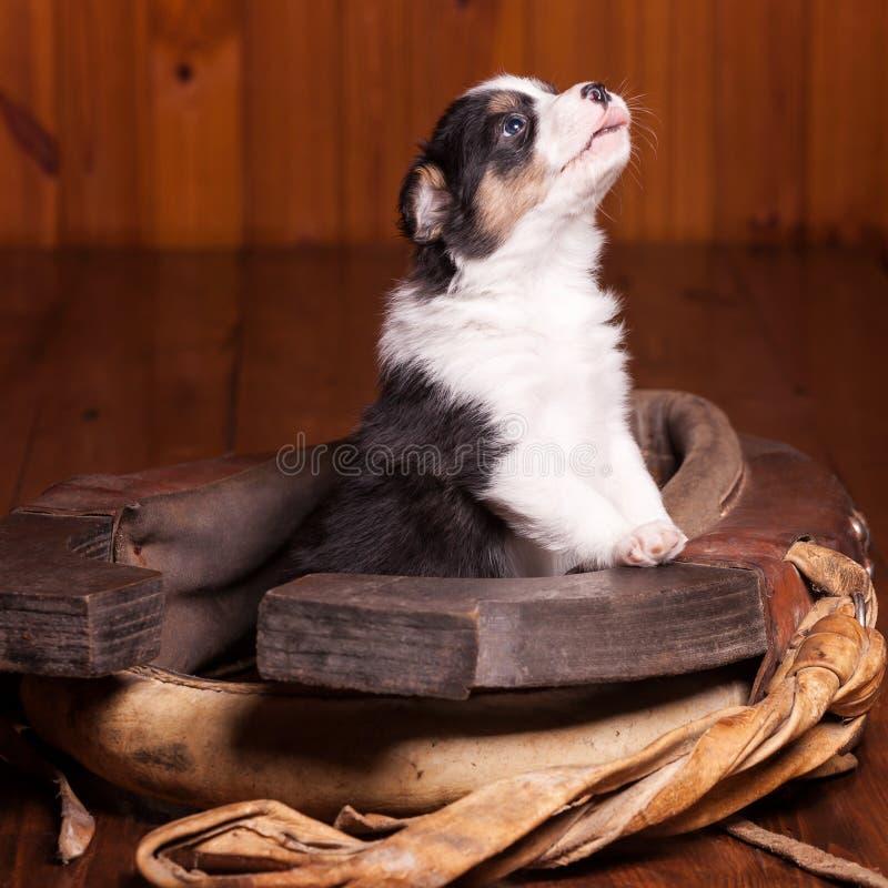 Красивый щенок стал передними лапками на воротнике для лошади и смотреть вверх стоковые изображения rf
