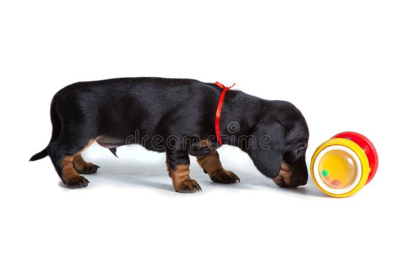 Красивый щенок таксы стоит рядом с игрушкой и обнюхивает ее стоковое фото rf