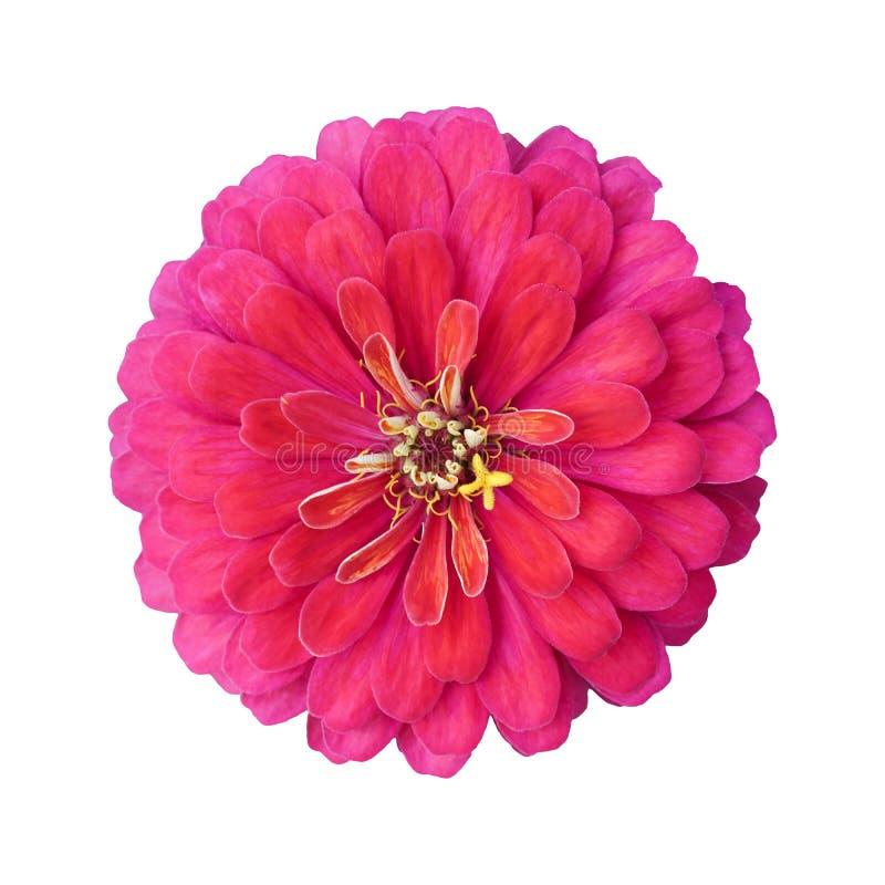 Красивый яркий розовый цветок zinnia изолированный на белой предпосылке стоковые фотографии rf