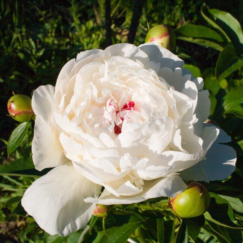 Красивый blossoming белый пион с 3 бутонами стоковое изображение rf