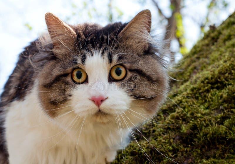 Красивый bobtail Kurilian кота идет весной в парк на поводке Любимец сидя на дереве, портрет крупного плана кот пушистый стоковое фото rf