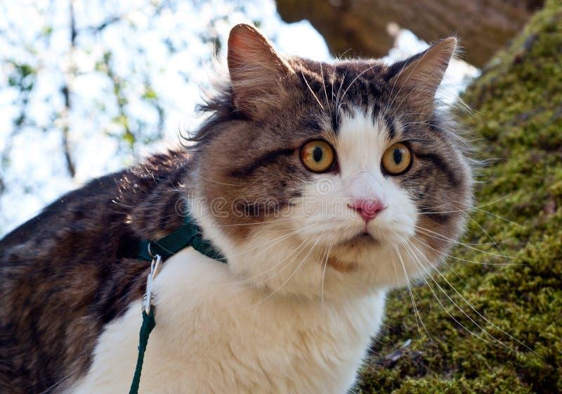 Красивый bobtail Kurilian кота идет весной в парк на поводке Любимец сидя на дереве, портрет крупного плана кот пушистый стоковые изображения rf