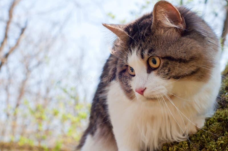 Красивый bobtail Kurilian кота идет весной в парк на поводке Любимец сидя на дереве, портрет крупного плана кот пушистый стоковые фото